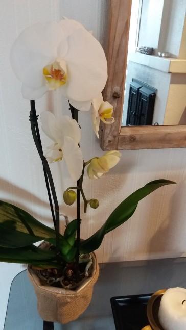 Edellinen orkidea kuoli